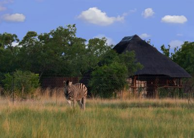 Zebra with Log Cottage in the background