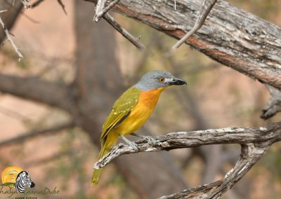 Grey Headed Bush Shrike