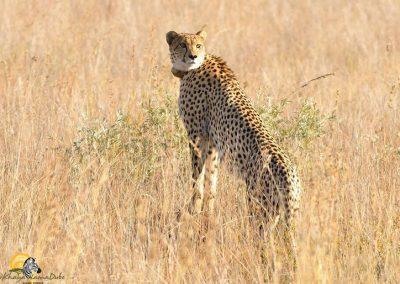 Cheetah Female