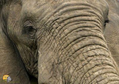 Elephant close up eyes