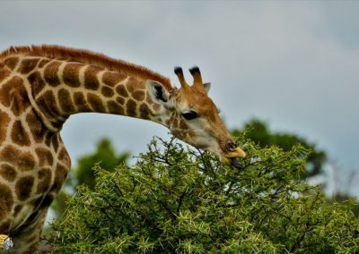 Giraffe Browse Thorntree leaves