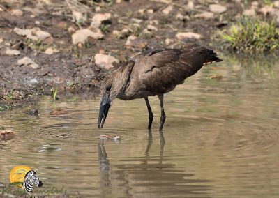 Hamerkop with Frog