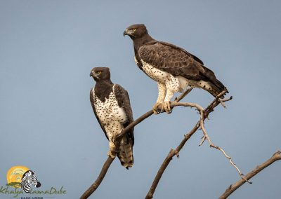 Martial Eagle Pair