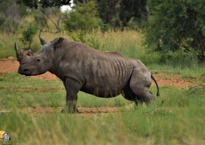 Rhino rubbing post