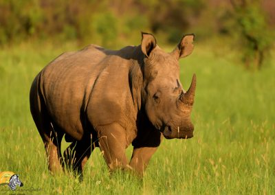 Rhino in landscape