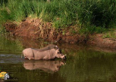 Warthog cooling down