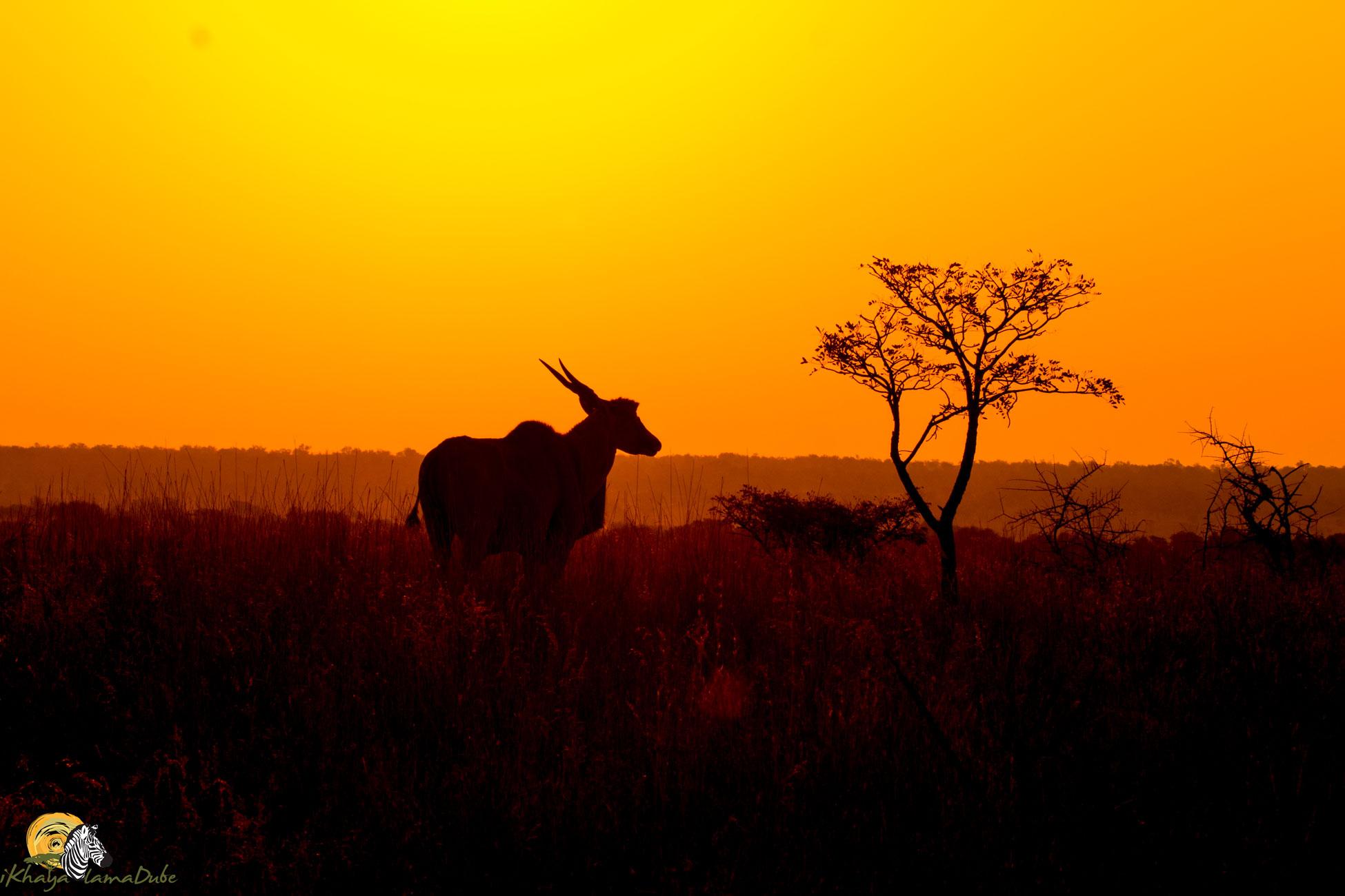 Eland sunset summer safari